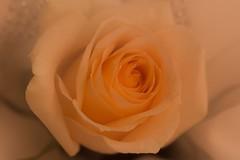 Hope (ankarals) Tags: macro rose norway canon soft allwhatsbeautiful