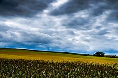 Obscure après-midi (Fabrice Le Coq) Tags: jaune gris vert bleu ciel nuages paysage extérieur champ fabricelecoq