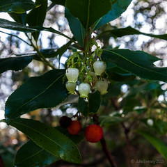 The strawberry tree is confused - fruit and flowers (Julia Livesey) Tags: tree strawberrytree canfordheath