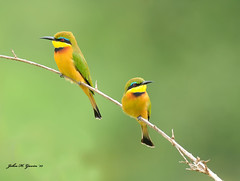 JHG_8777-b Pair of Little Bee-eaters, Masai Mara, Kenya. (GavinKenya) Tags: africa wild nature animal june john mammal photography gavin photographer kenya african wildlife july grand safari dk naturephotography kenyasafari africansafari 2015 safaris africanwildlife africasafari johngavin wildlifephotography kenyaafrica kenyawildlife dkgrandsafaris africa2015 safari2015 johnhgavin