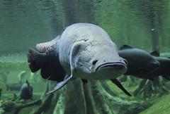 Piraruc (Jordi Calaveras) Tags: fish pez animal acuario amazonas cosmocaixa arapaima acuatico piraruc