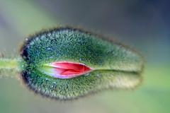 Est-ce vraiment l'heure de m'éveiller ? (Emmanuelle2Aime2Ailes) Tags: macro fleur eclosion thespaceinbetween macromondays