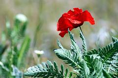 amapola (M. Martin Vicente) Tags: poppy amapola