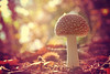 the forest guardian (C-Smooth) Tags: light macro nature mushroom closeup forest nikon dof bokeh poison amanitamuscaria dreamland guardian redandwhite pilz flyagaric fungo amanitaceae macronature velenoso csmooth d3100 stefanocabello