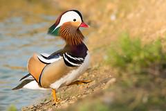 Le pas du Mandarin (Jacques GUILLE) Tags: bird mandarinduck oiseau aixgalericulata anatids canardmandarin ansriformes