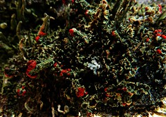 Microcosm 12/14/15 (dianecordell) Tags: moss december fungi quotes microcosm britishsoldiers queensburyny matchstickmoss