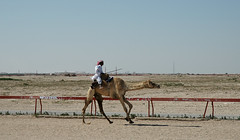 doha camel race (33) (Parto Domani) Tags: animal animals race radio robot corse arabic east camel arab oriente practice middle peninsula medio animali animale  doha qatar corsa arabica cammello  arabo penisola dromedario araber     cammelli  dromedari