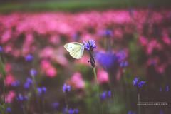 life (nodie26) Tags: flowers light flower color beautiful 35mm butterfly fly feel taiwan   hualien        6d