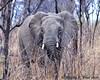 South Africa--Kruger Two 008 (REBlue) Tags: southafrica mpumalangaprovince krugernationalpark africanelephant bigfive