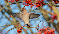 Waxwing (Bombycilla Garrulus) (Gowild@freeuk.com) Tags: waxwing bohemian bombycillagarrula bird birds migrant visitors feeding winter berry berries red wing wings feathers uk lancashire nature wild wildlife outdoor rowan nikon d4 andrew marshall