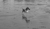 Jump (KelJB) Tags: ocean sea coast seaside beach dogjumping jump beautiful cute animal pet jackrussell terrier dog dogrunning