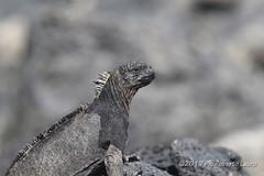 Iguana marina (Roberto Lauro) Tags: viaggi travel natura nature ecuador galapagos wildlife iguanamarina iguana rettili canon
