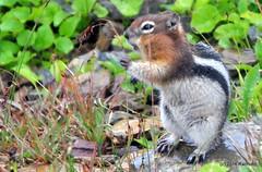 DSC_0667 (rachidH) Tags: squirrel écureuil rodents goldenmantledgroundsquirrel spermophiluslateralis callospermophiluslateralis spermophileàmanteaudoré écureuilterrestreàmanteaudoré spermophileàmanterayée logan pass loganpass westglaciernationalpark montana rockymountains mt rachidh nature