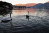 Abbracciati nel cerchio della vita (illyphoto) Tags: photoilariaprovenzi lagodicomo comolake lakecomo swam swams tramonto