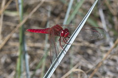 "Crocothemis erythraea • <a style=""font-size:0.8em;"" href=""http://www.flickr.com/photos/15452905@N02/31790934956/"" target=""_blank"">View on Flickr</a>"