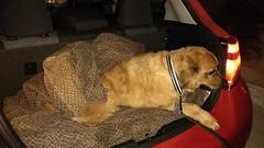 ** L'arrivée ** (Impatience_1) Tags: zipper chien dog animaldecompagnie pet animal bête pitou voyage trip auto car impatience 24décembre2016 supershot coth coth5 sunrays5