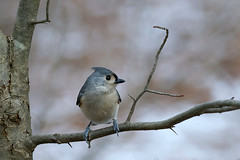 Tufted titmouse. (Mel Diotte) Tags: tufted titmouse ojibway park windsor