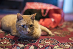 Santa Came for Butterscotch! (WilliamND4) Tags: cat gift tabby nikon 50mm holiday cute