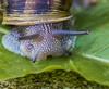 Slow Mover. (Omygodtom) Tags: escargo snail outdoors abstract animal natural nikkor diamond digital macro tamron tamron90mm d7100 scene
