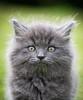 'Ashen' (Jonathan Casey) Tags: kitten portrait cat rescue chums catchums grey nikon d810 105mm f28 vr