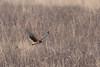 Northern Harrier (Circus cyaneus) (Susan Jarnagin) Tags: mercercounty mercermeadowspolefarm northernharrier circuscyaneus hawk bird nj