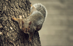 Close Encounter of the Third Kind (akigabo) Tags: montreal nature fauna animal squirrel fall close encounter look tree bark depthoffield dof canon aquigabo eos rebel t5i 700d composition 250mm light focus adventure
