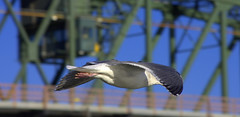 Seagull Gliding By (swong95765) Tags: seagull gull gliding flying wing sky animal bird bokeh