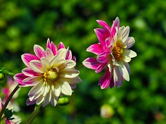 Happy weekend (sabine1955) Tags: blüte blossem natur dahlien pink weis