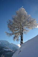 Yok Yok (corinne emery) Tags: bettmeralp betten arbre neige snow valais wallis suisse swiss hiver