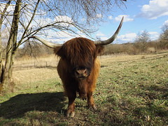 Hello girl (Notquiteahuman1) Tags: scottishhighlandcattle cow horns impressive red brown grass spring curious shadow contrast hair fur animal pet nature scottish sunlight weather sun fun outdoor sky clouds day green light bright color compactcamera bridgecamera walk calm