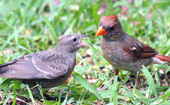 Right Here Mom! (Kaptured by Kala) Tags: cardinaliscardinalis cardinal northerncardinal garlandtexas femalecardinal femalenortherncardinal orange eating feeding molothrusater brownheadedcowbird cowbird fledgling cowbirdfledgling brownheadedcowbirdfledgling babycowbird babybrownheadedcowbird baby grass begging fluttering