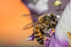 Honeybee (gilamonster8) Tags: bee arizona bokeh beyondbokeh black orange color cactus flower flight flickrelite fight pollen ngc red sky tucson vermillion water white yellow eyes