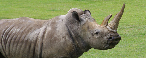 D09943.  White Rhinoceros.