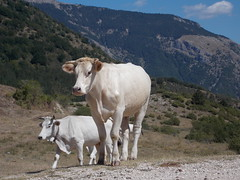 A family (~Miel) Tags: cows mucche estate summer nikon coolpixl810 bridgecamera animals animali nature natura mountains montagne lazio beginner principiante