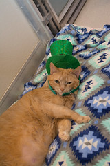 Dixie Chicks (Save-A-Pet Adoption Center) Tags: 2017 saveapet cat dixiechicks female orange