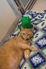 Dixie Chicks (Save-A-Pet Adoption Center) Tags: 2017 saveapet cat dixiechicks female orange