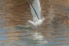 GABBIANO    ----    GULL (cune1) Tags: mare sea uccello bird natura nature acqua water italia italy lazio salineditarquinia animali animals