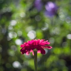 Zinnia impression (ΞSSΞ®®Ξ) Tags: ξssξ®®ξ pentax k5 flower summer angle 2016 zinnia squareformat bokeh smcpentaxm50mmf17 blur outoffocus depthoffield plant blossom garden