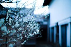 plum trees in the backyard (N.sino) Tags: m9 summiluxm50mm plum plumflower backyard 裏庭の梅 梅の花 白梅 蔵 裏庭 郷土の森