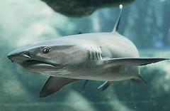 White tip Shark (Wilamoyo) Tags: ocean blue fish eye monster aquarium shark dangerous eating hunter aquatic aggressive predator creature sleek fins