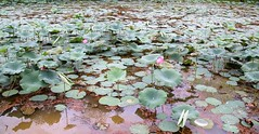 IMG_0446 (singaporeplantslover) Tags: nymphaea 莲花 睡莲 lotus,