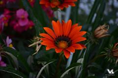 Orange Flower (lehimvergara) Tags: orange naturaleza plant flower color planta nature colors beautiful contrast flor colores contraste hermoso naranja anaranjado airelibre