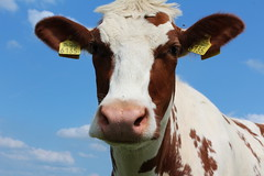 Olympic Quik Topper (excellentzebu1050) Tags: animal animals closeup cow cattle outdoor farm animalportraits heifer dairycows oudoors coth5 july2015shootheifers