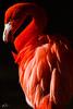 Flamingo (William Gruner Photography) Tags: orange newmexico birds animals downtown flamingo albuquerque abq nm biopark riograndezoo albuquerquebiopark