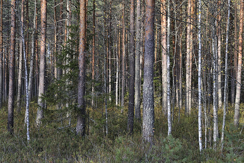 Punkaniemi, high conservation value forest planned to be clearcut by Finnish UPM