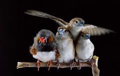 (mohd alsulaiti) Tags: hot bird birds canon arabic explore arab doha qatar  2015  qtr dohaqatar           birdslife   mohdalsualiti