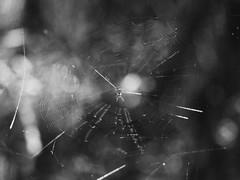 Venusta Orchard Spider (bamboosage) Tags: 25 200 smc pentaxk