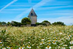 French farm and chamomile field, Ile de Re