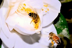 hanging off (donjuanmon) Tags: plant flower closeup flying bee incoming pollen camellia donjuanmon