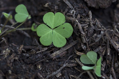 Vida Miniatura (Jos Ramn de Lothlrien) Tags: macro flora shamrocks shamrock trebol treboles hierbas